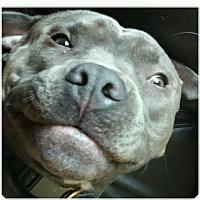 American Pit Bull Terrier Mix Dog for adoption in Howell, Michigan - Chance