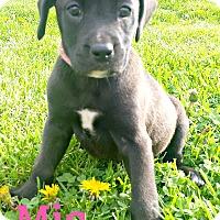 Adopt A Pet :: Mia - Brazil, IN