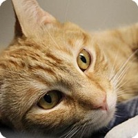 Domestic Shorthair Cat for adoption in Johnson City, Tennessee - chowder/tiger(high meadow)