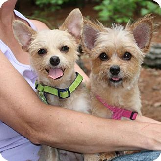 Yorkie, Yorkshire Terrier Mix Dog for adoption in Burbank, Ohio - Miley and Butterscotch
