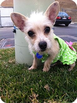 Yorkie, Yorkshire Terrier/Terrier (Unknown Type, Small) Mix Puppy for adoption in El Cajon, California - PERLITA (HW)