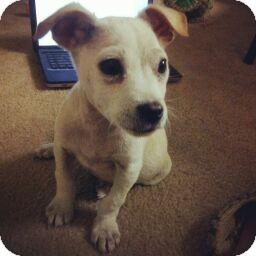 Labrador Retriever Mix Puppy for adoption in Gainesville, Florida - Tucker