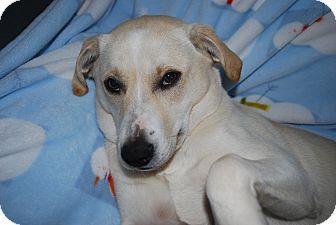 Labrador Retriever/Basenji Mix Dog for adoption in Marietta, Georgia - Brodie