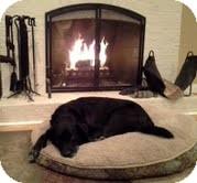Labrador Retriever Mix Dog for adoption in Homewood, Alabama - Duke