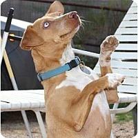 Adopt A Pet :: Evey - Scottsdale, AZ