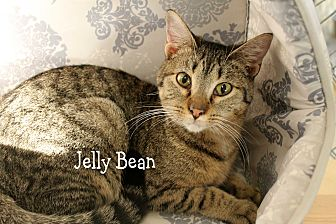 Domestic Shorthair Cat for adoption in Wichita Falls, Texas - Jelly Bean