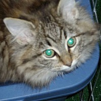 Adopt A Pet :: Rosetta HalfTail - Speedway, IN