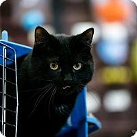 Domestic Shorthair Cat for adoption in Ottawa, Ontario - Baby Girl