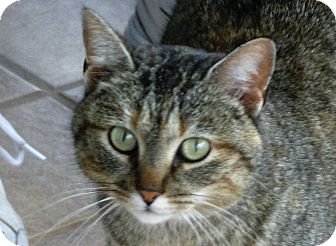 Domestic Shorthair Cat for adoption in Montgomery City, Missouri - Mitzi
