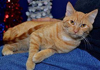 Domestic Shorthair Cat for adoption in Lenexa, Kansas - Clementine