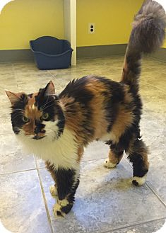 Persian Cat for adoption in Fairfax, Virginia - Summer Breeze