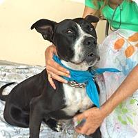 Adopt A Pet :: Sasha - Santa Monica, CA