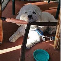 Adopt A Pet :: Bo - Burbank, CA