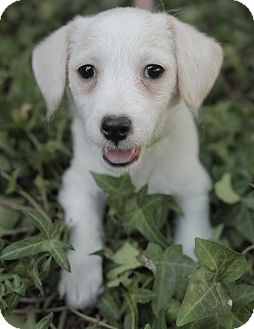 Spaniel (Unknown Type)/Terrier (Unknown Type, Small) Mix Puppy for adoption in Encino, California - Picasso - Mona Lisa Pup