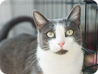 Domestic Shorthair Cat for adoption in Los Angeles, California - Lotti