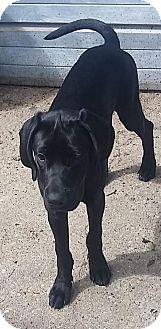 Labrador Retriever/Great Dane Mix Puppy for adoption in Livonia, Michigan - Trinity- ADOPTED