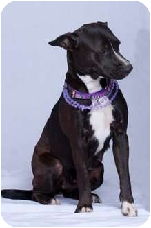 American Pit Bull Terrier Mix Dog for adoption in Vidor, Texas - Ms. Pibbs
