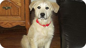 Anatolian Shepherd/Great Pyrenees Mix Puppy for adoption in Wooster, Ohio - Maya