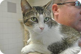 Domestic Shorthair Cat for adoption in white settlment, Texas - Snow