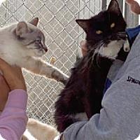 Domestic Mediumhair Cat for adoption in Sherman Oaks, California - Gracie