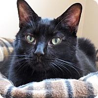 Adopt A Pet :: Atticus (LAP CAT) - Reston, VA