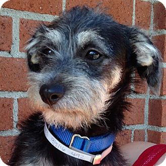 Schnauzer (Miniature)/Terrier (Unknown Type, Medium) Mix Puppy for adoption in Redondo Beach, California - Sherlock