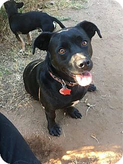 Corgi/Labrador Retriever Mix Dog for adoption in Astoria, New York - Willie: Adoption Pending