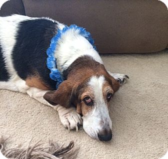 Basset Hound Dog for adoption in Columbia, South Carolina - Marshmallow
