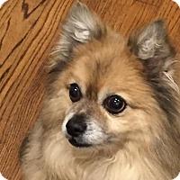 Adopt A Pet :: Simba - Worcester, MA