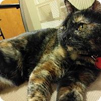 Adopt A Pet :: Asiago - The Colony, TX