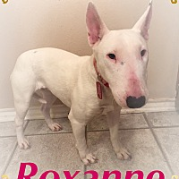 Bull Terrier Dog for adoption in Dallas, Texas - Roxanne