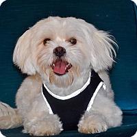 Adopt A Pet :: Buddy - Manassas, VA