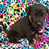 Adopt A Pet :: Aster - New York, NY