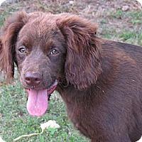 Adopt A Pet :: BRANDY - Humboldt, TN