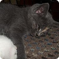 Adopt A Pet :: Gyget - Acme, PA