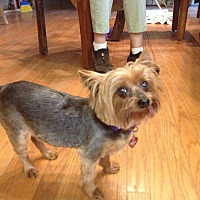Yorkie, Yorkshire Terrier Dog for adoption in Oakland, California - DOGSTER