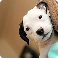 Adopt A Pet :: Sugar - Reisterstown, MD