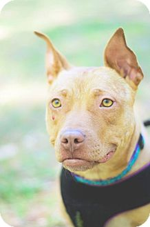 Pit Bull Terrier Mix Dog for adoption in Durham, North Carolina - Marigold