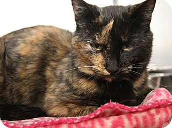 Domestic Shorthair Cat for adoption in Marietta, Ohio - Fiona (Spayed & Combo Tested)