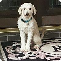 Adopt A Pet :: Zeus - Fort Collins, CO