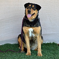 Adopt A Pet :: Tasha - Palm Springs, CA