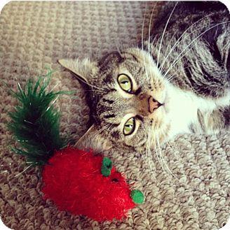 Domestic Shorthair Cat for adoption in Mesa, Arizona - Lola