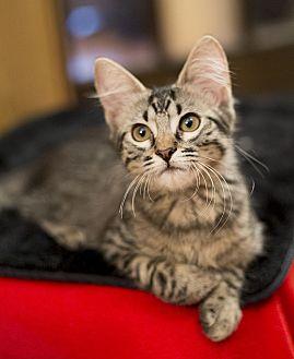 Domestic Longhair Kitten for adoption in Chicago, Illinois - Reba