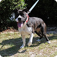 Staffordshire Bull Terrier/Labrador Retriever Mix Dog for adoption in Sylvania, Georgia - Connor