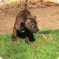 Adopt A Pet :: Dooku - Richmond, VA