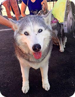 Siberian Husky Dog for adoption in Yucca Valley, California - AURORA