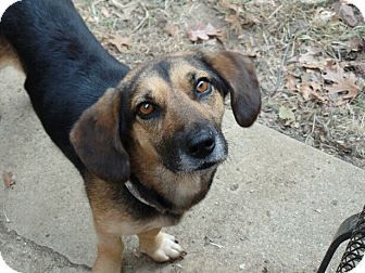 Basset Hound/Beagle Mix Dog for adoption in Hermitage, Tennessee - Lucille