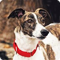 Adopt A Pet :: India - Ware, MA