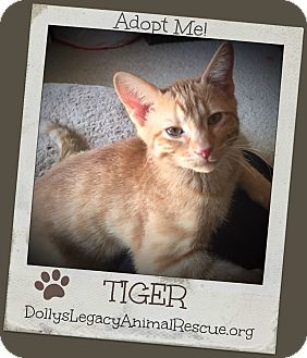 Domestic Shorthair Kitten for adoption in Lincoln, Nebraska - TIGER