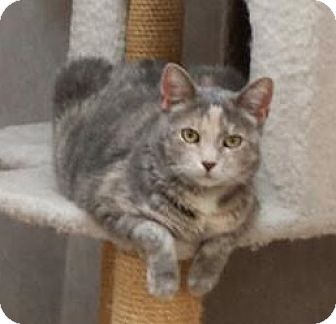 Domestic Shorthair Cat for adoption in Manchester, Missouri - Shelly